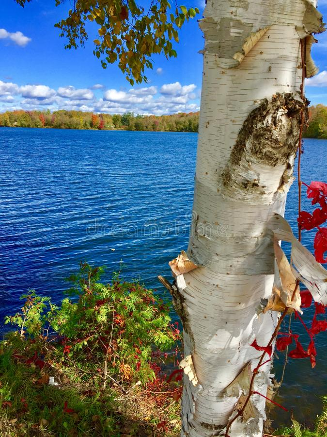 White birch tree with red leaf vine and lake stock image