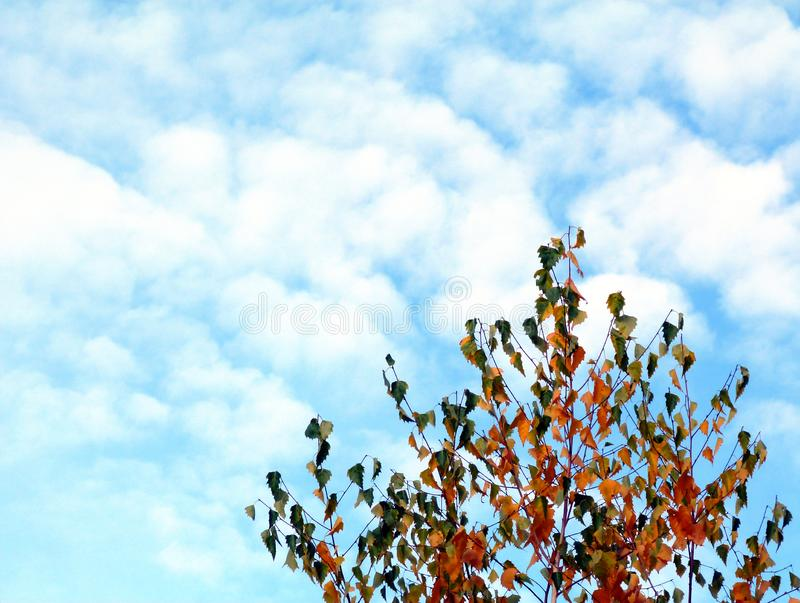White birch tree top detail in low level perspective view in yellow and green autumn colors. Bright blue sky with fluffy white clouds. background image. beauty stock images