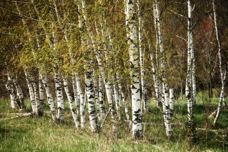 White Birch Trees. A grove of white birch trees in a heavily wooded area of Northwest Michigan stock images