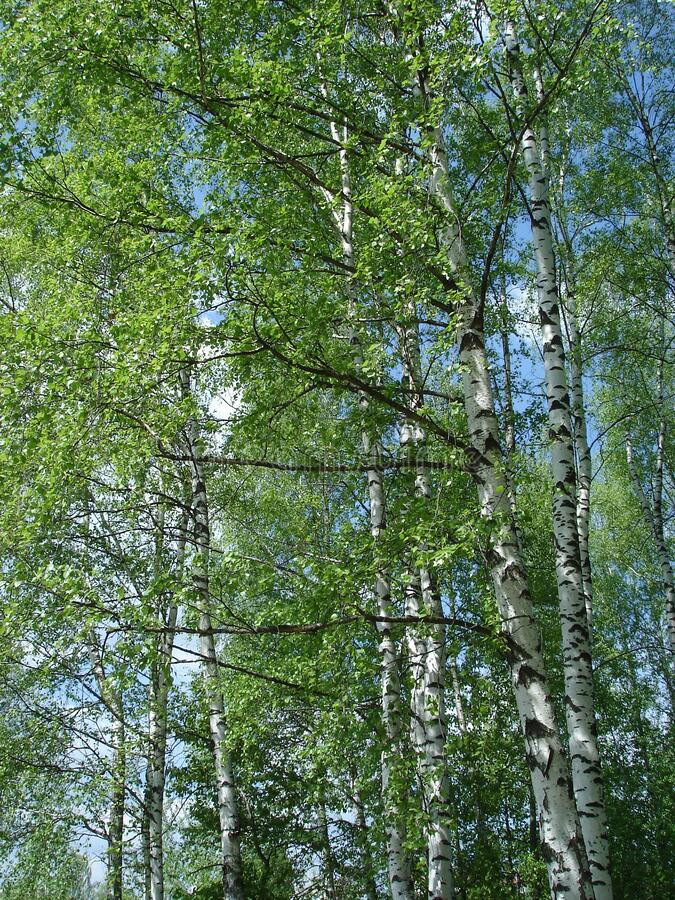 White birch trees against the sky royalty free stock photos