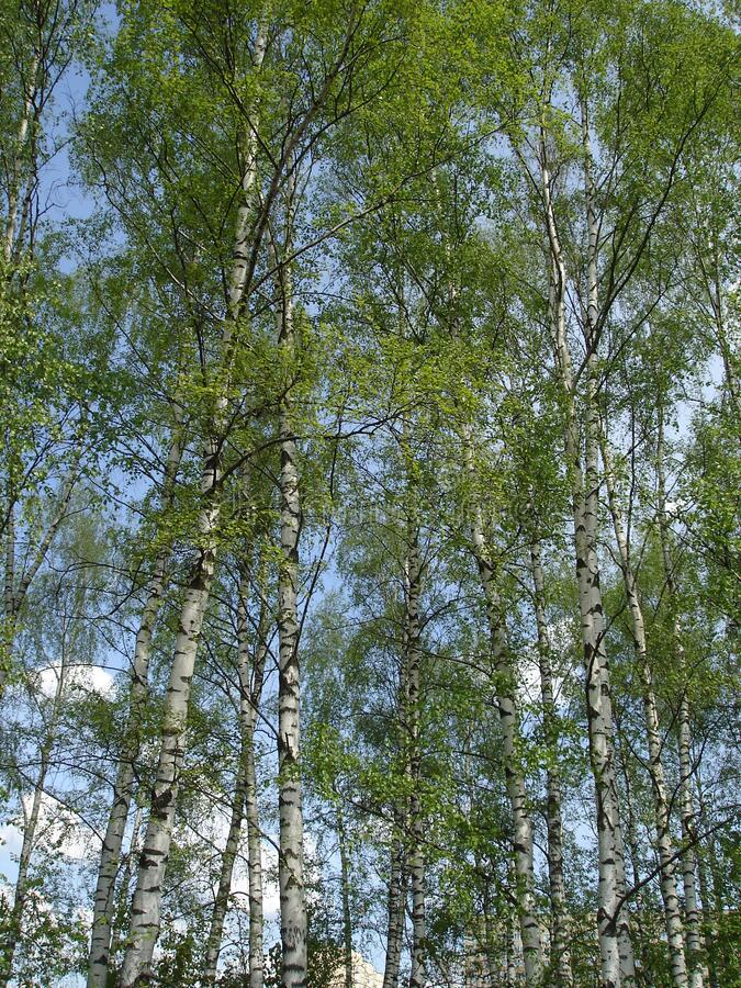 White birch trees against the sky stock images