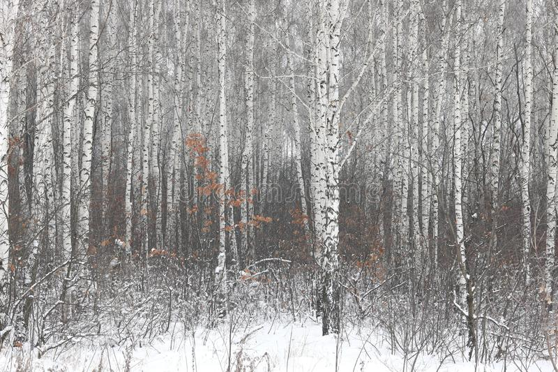 white birch trees with birch bark in birch forest among other birches in winter on snow stock image