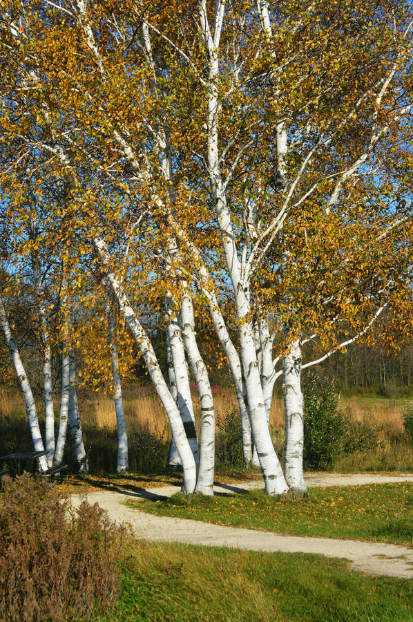 White Birch Trees. A grouping of white birch trees growing by walking path stock images