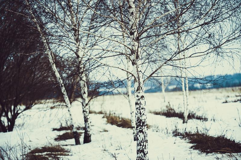 White birches in the spring field stock photography