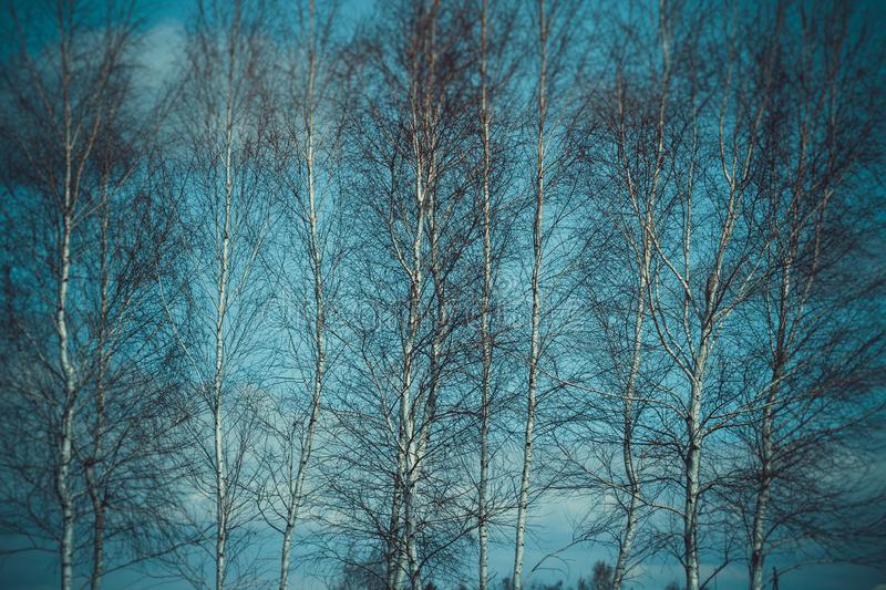 White birches in the spring forest royalty free stock images