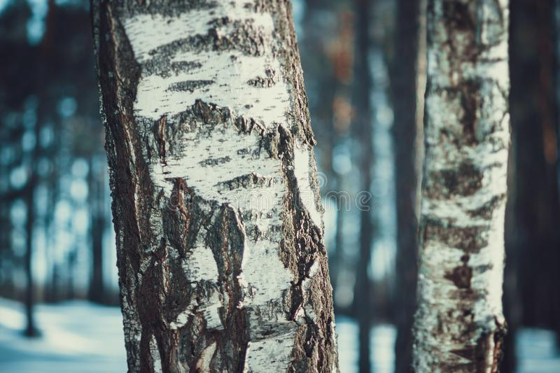 White birches in the winter forest royalty free stock photo