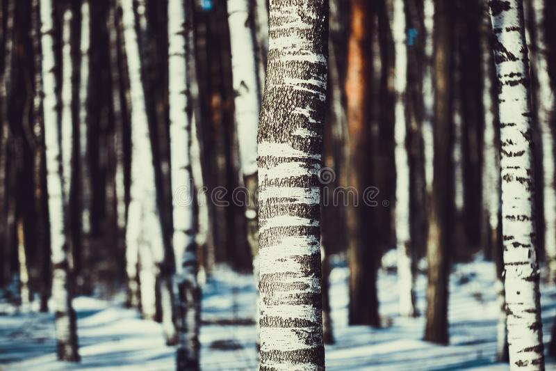 White birches in the winter forest stock photography