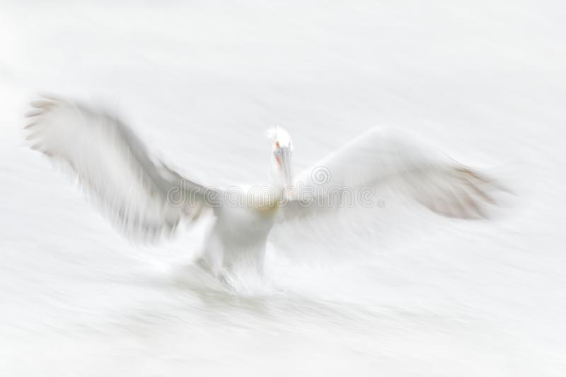 White bird, art in nature. Dalmatian pelican, Pelecanus crispus, in Lake Kerkini, Greece. Pelican with open wing, hunting animal. Wildlife scene from Europe stock image