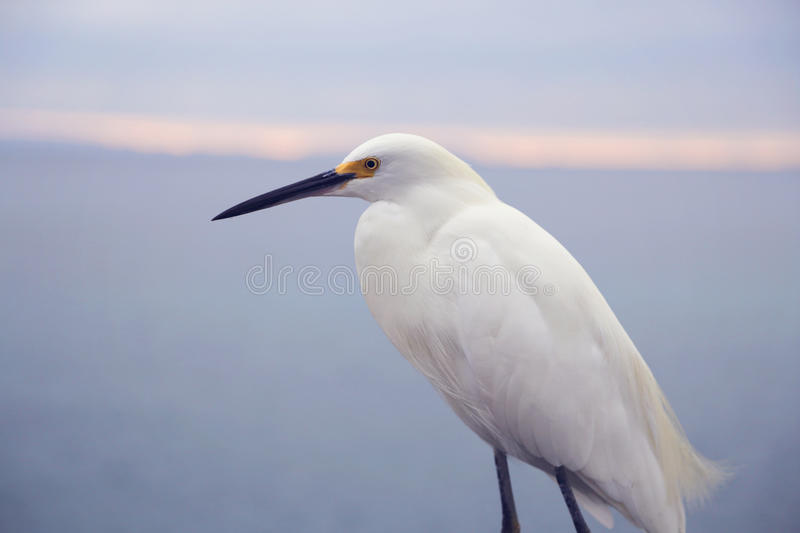 White Bird on Balboa Island, California stock photography