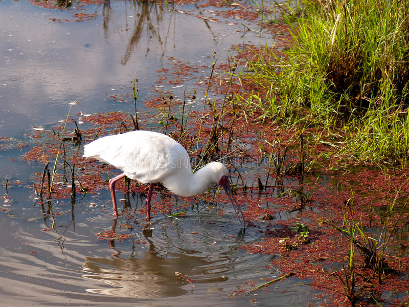 White bird with a beak in the water. Against the background of algae stock photography