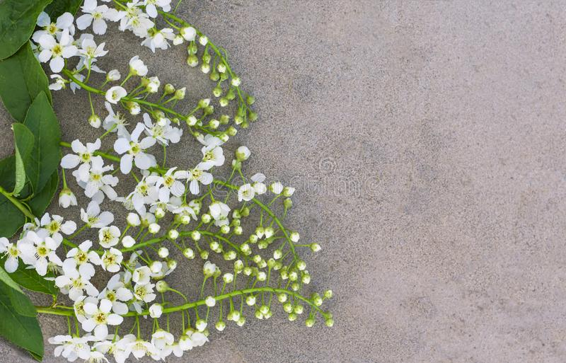 White bird cherry flowers on concrete background, flat lay. Copy space royalty free stock photography