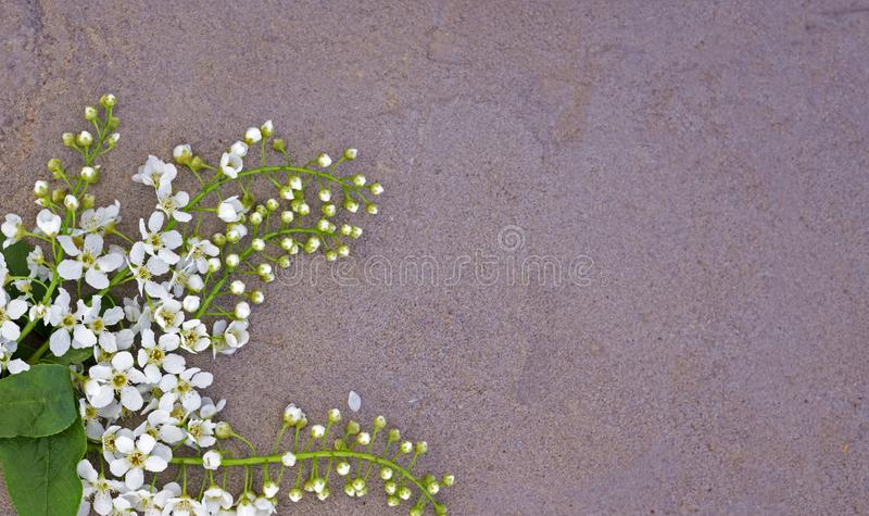 White bird cherry flowers on concrete background, flat lay with copy space.  stock photos
