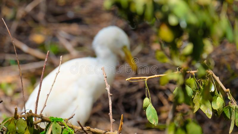 White bird  face side view with blur background. The nature of the forest and the backdrop of white birds are blurred. Blur images stock photography