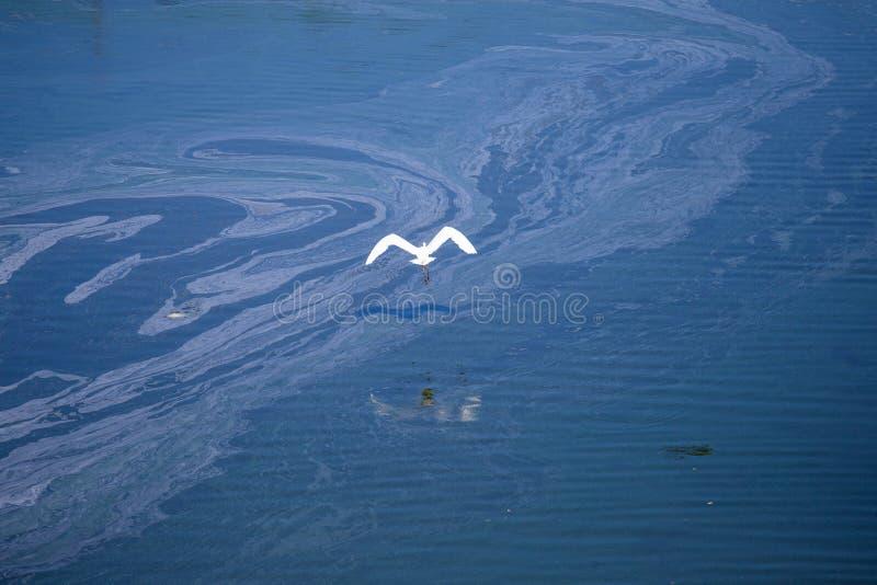 White bird flight on blue background. Freedom concept. Great egret, Ardea alba, common egret, large egret , great white. White bird flight on blue background royalty free stock image