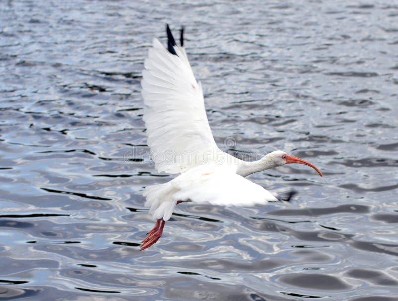 White bird in flight over water stock photo