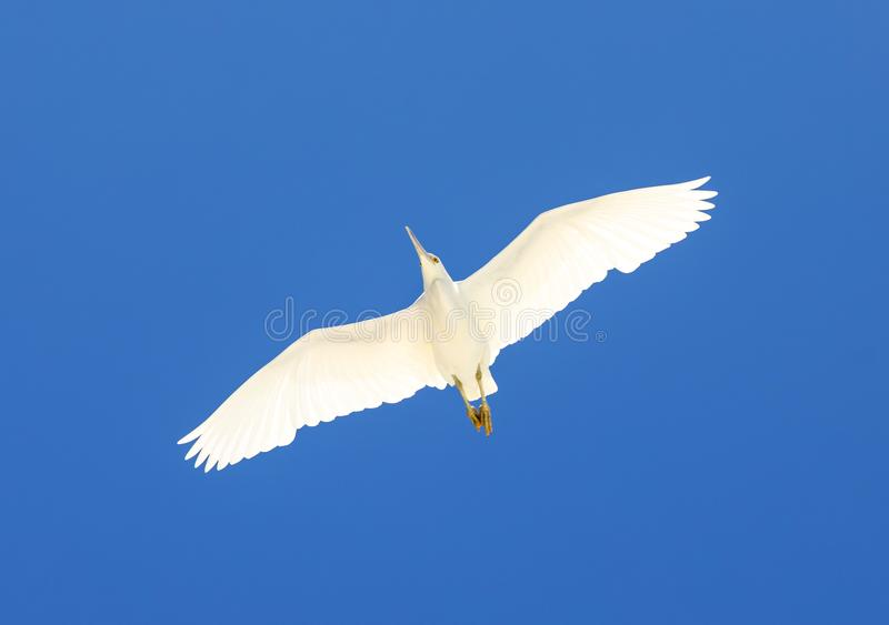 White bird flying on blue sky. Image of white egret bird flying with clear blue sky as a background. Picture taken on Heron Island, Queensland Australia stock photo