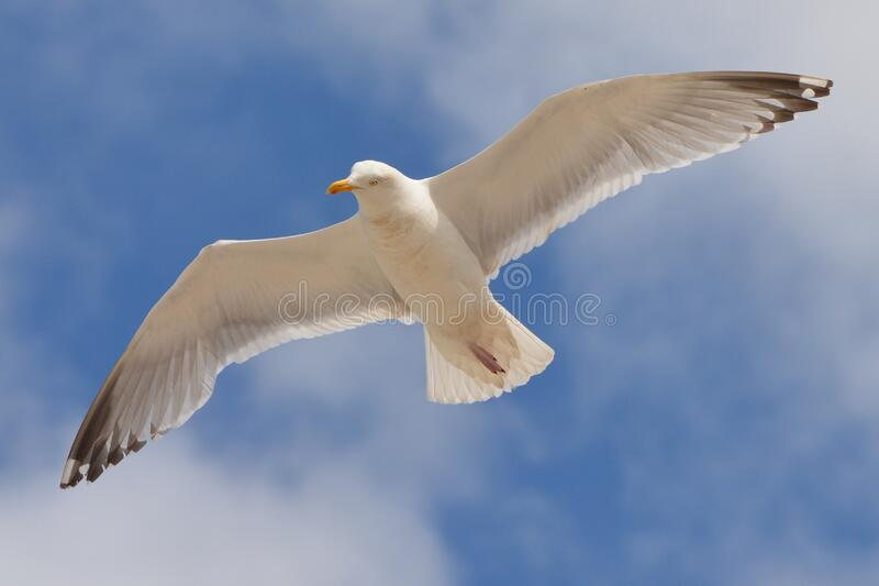 White Bird Flying Under the Blue and White Sky during Daytime royalty free stock images