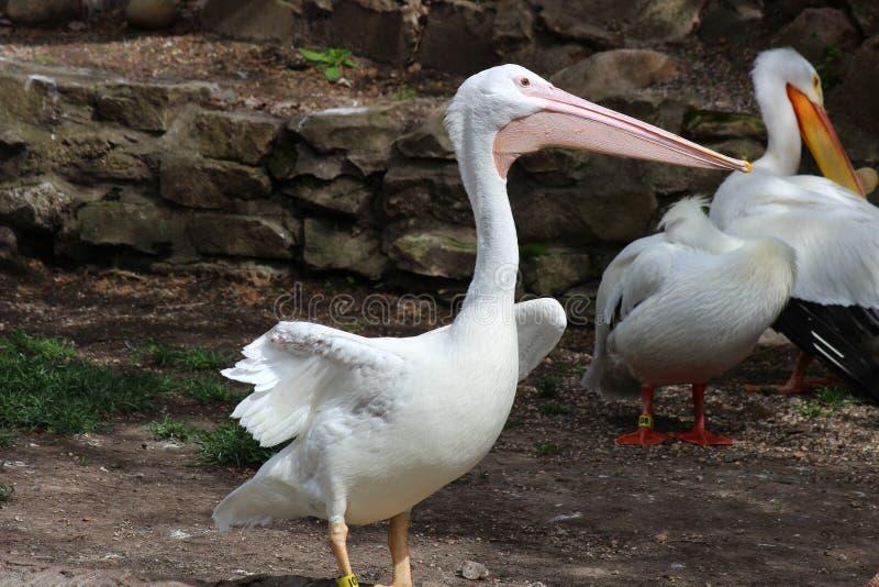 A white bird in the open. Preening it`s wings stock photo