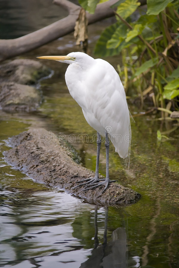WHITE BIRD SITTING AT THE EDGE OF A RIVER. White Bird sitting on the edge of a River stock images