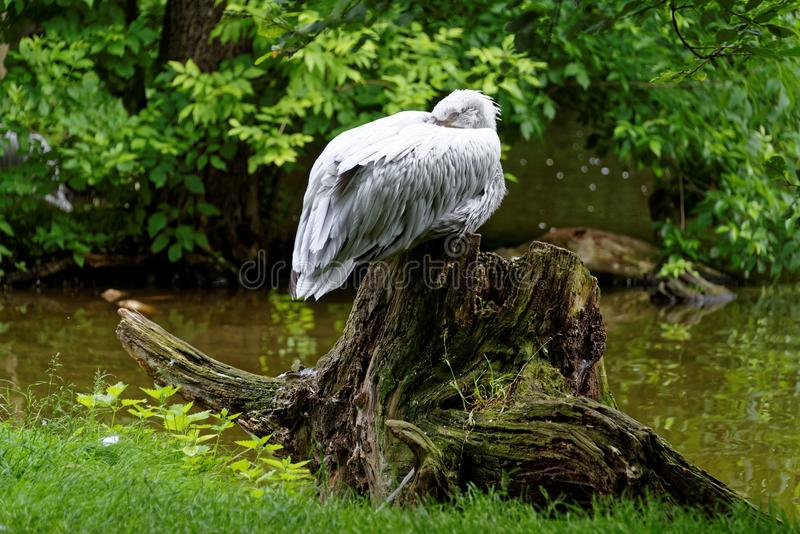 White bird on a stump. White bird on old stump with a river in background stock photography