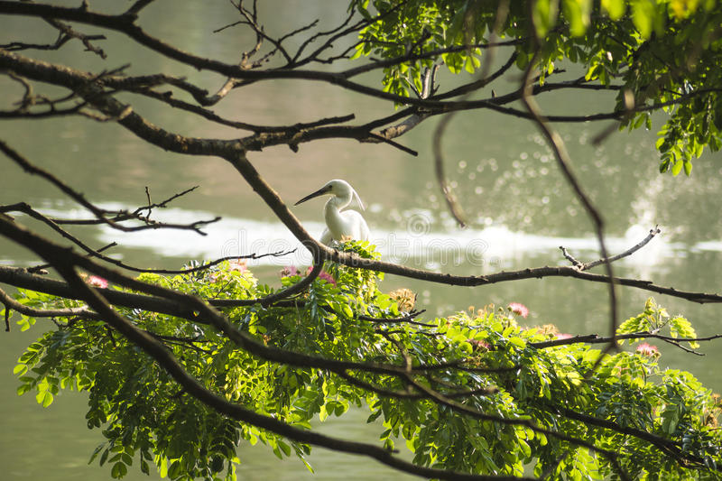 White bird in a tree in front of Kandy lake, Sri Lanka. Kandy lake bird with green branches royalty free stock photos
