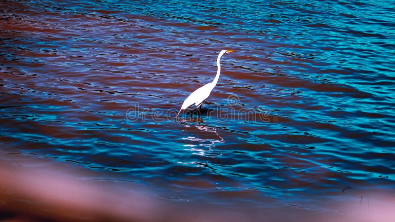 White bird under water observing royalty free stock photography