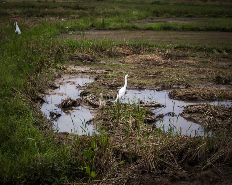 White Birds en campo del fango fotografía de archivo