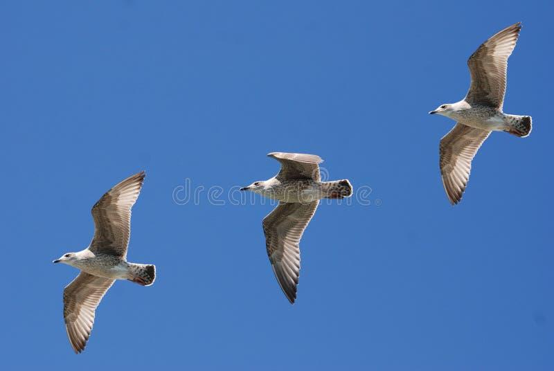 3 White Birds Flying Under Blue Sky stock photos