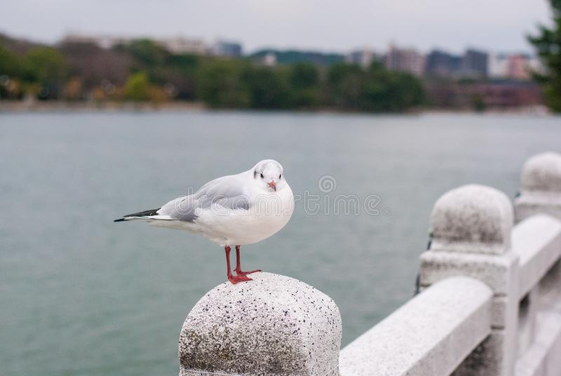 White birds standing on the stone bridge with has lake and building in the background. White birds standing on the stone bridge which has lake and building in royalty free stock images