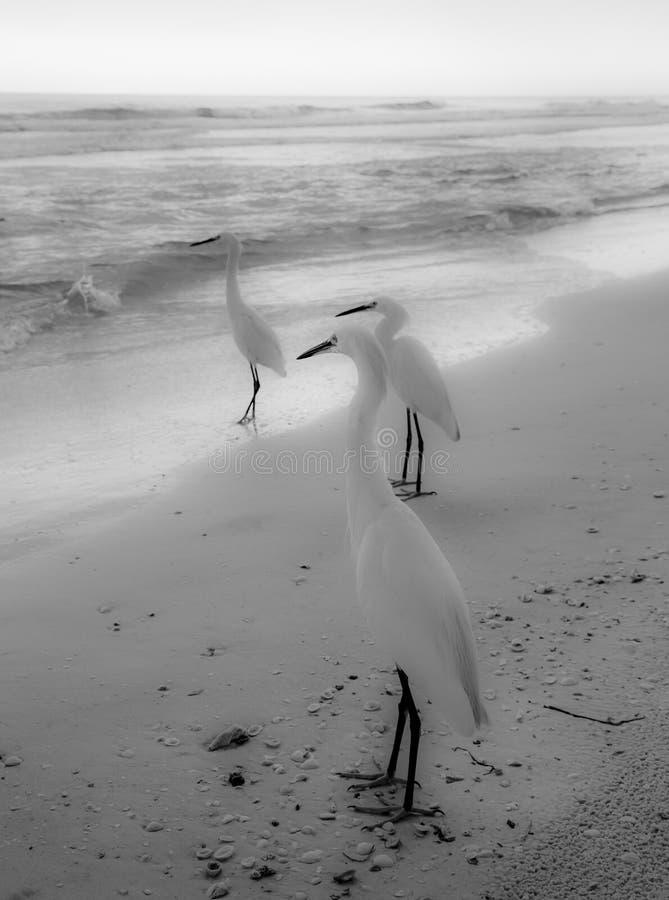 White birds walking on the beach stock photo