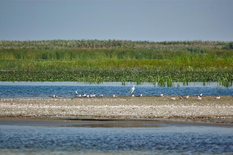 White birds on a wild sand beach in the Danube Delta stock images