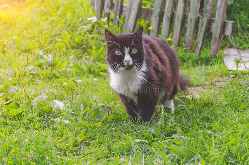 White and black adult domestic cat sitting in grass and looking to the right side. stock images
