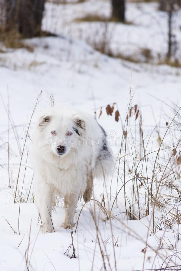 White and Black Australian Shepherd Walking Toward Camera. A white and black Australian Shepherd walking toward the camera through snow. Dried grass and royalty free stock photos