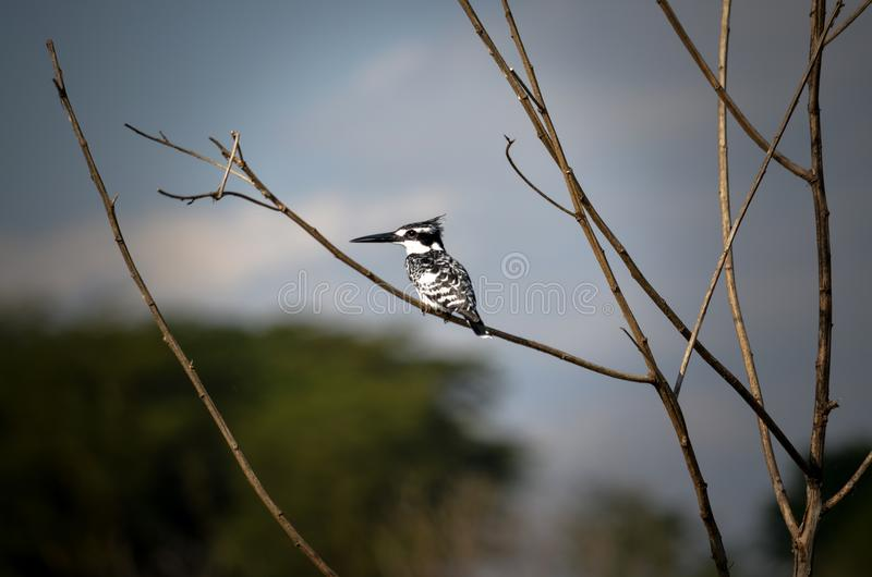 White and Black Bird on Brown Tree Stem royalty free stock photo