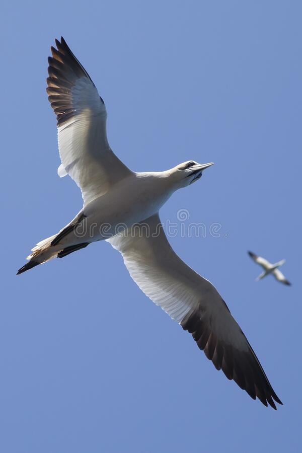 White and Black Bird Flying Under Blue Sky during Daytime stock images