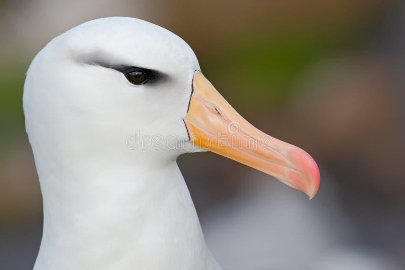 White Black-browed albratros, Thalassarche melanophris, beautiful detail portrait of sea bird, Falkland Island royalty free stock photo