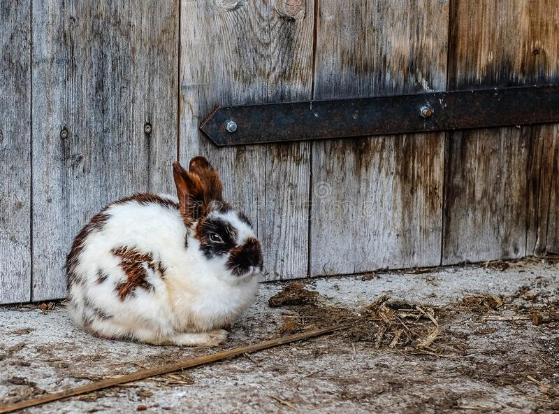 White Black And Brown Rabbit Near Brown Wooden Fence Free Public Domain Cc0 Image
