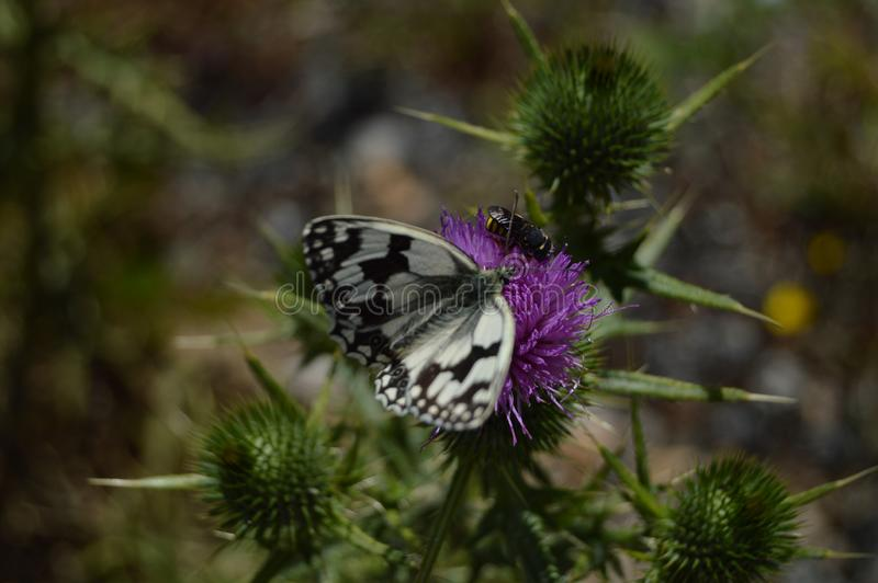 White And Black Butterfly On A Purple Flower In The Mountains Of Galicia. Fence Of Valleys. Pine Forests. Meadows And Forests Of royalty free stock photos