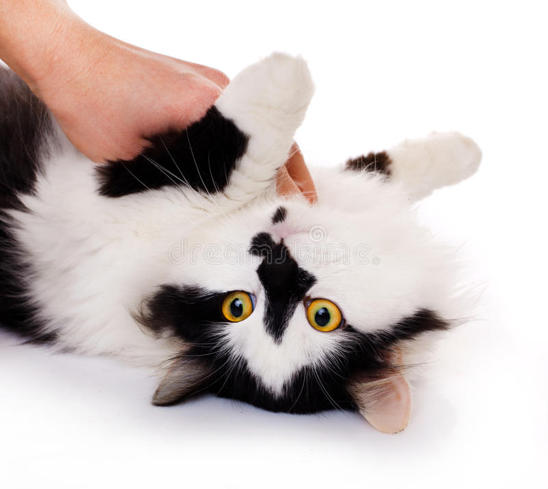 White and black cat royalty free stock photo