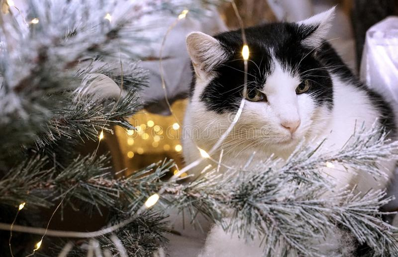 White And Black Cat Beside Christmas Tree With String Lights Free Public Domain Cc0 Image