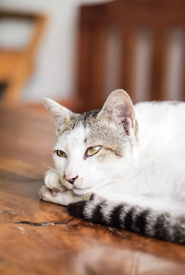 White and Black Cat Lying on Brown Wooden Table royalty free stock image
