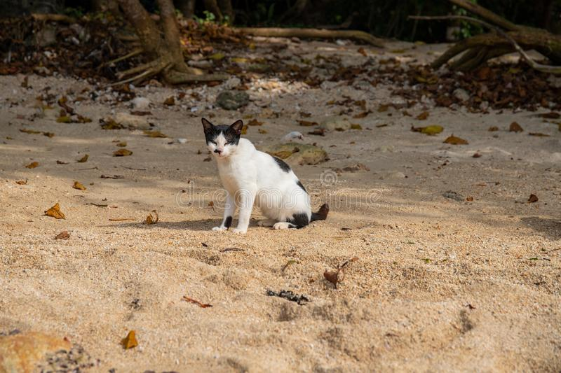 White black cat on yellow sand beach. Stray cat in tropical island. Invasive species in Asia. Short-tail asian kitty stock photo