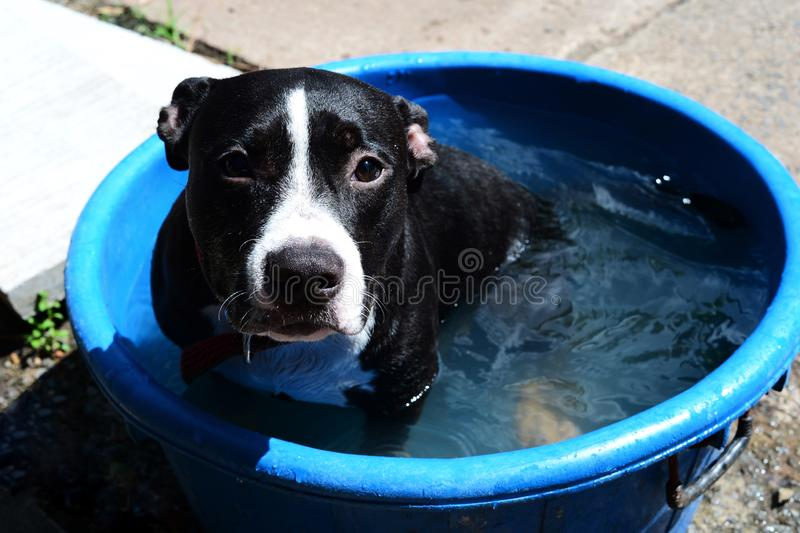 White and black dog bathing in blue plastic container royalty free stock image