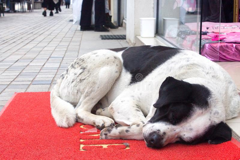 White and black dog sleeping on red carpet with word wellcome on the street in entrance of the shop stock image