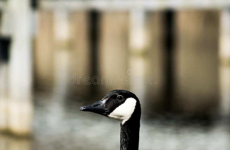 White and Black Duck royalty free stock photography