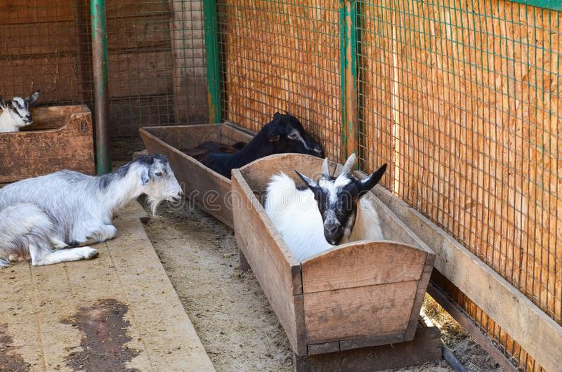 White and black goats lie in the feeders. royalty free stock image