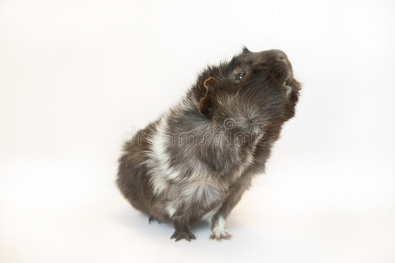 Guinea pig. White and black guinea pig on white background royalty free stock image