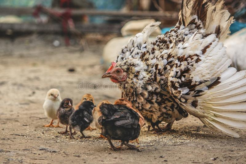 White and Black Hen Beside Chicken Chicks stock photography