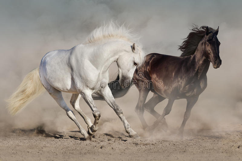 White and black horses stock photography