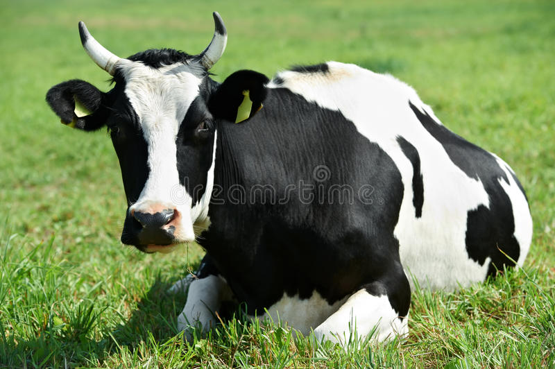 Download White Black Milch Cow On Green Grass Pasture Stock Photo - Image: 21343674